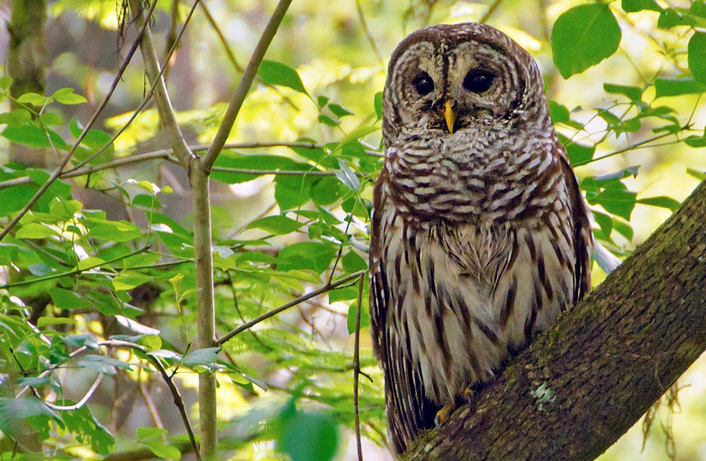 Barred owl. Photo by Winnie Hsieh (CAS'14)