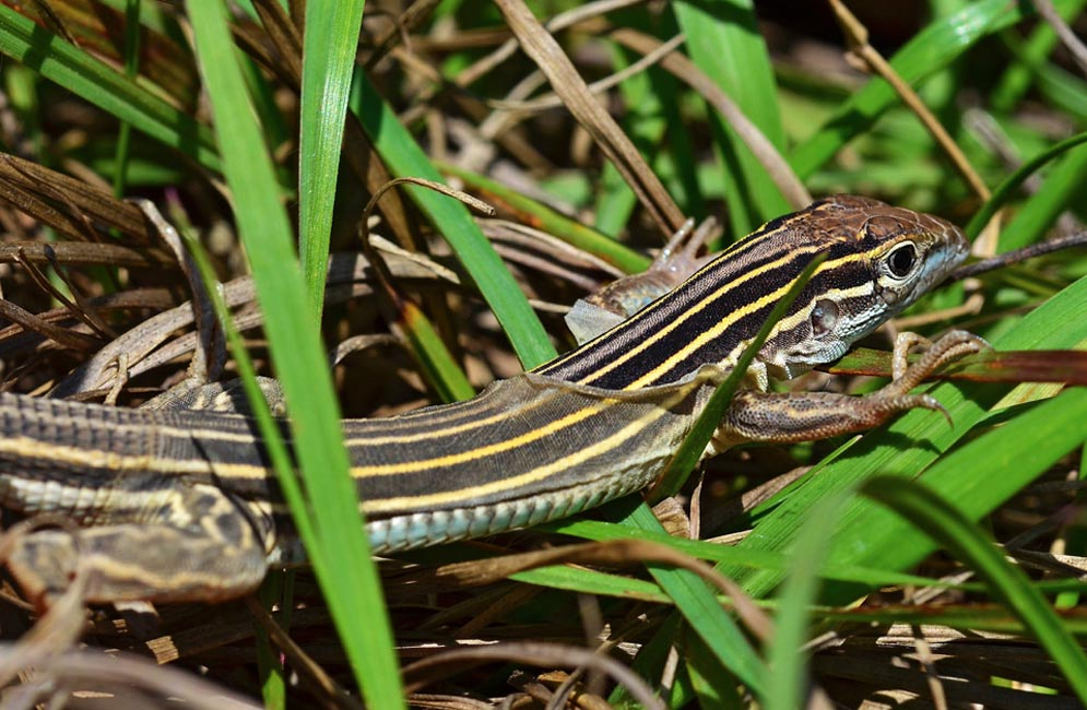 Six-lined racerunner. Photo by Winnie Hsieh (CAS'14)