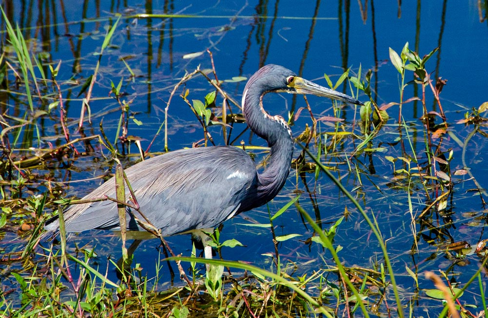 Tricolored heron. Photo by Winnie Hsieh (CAS'14)