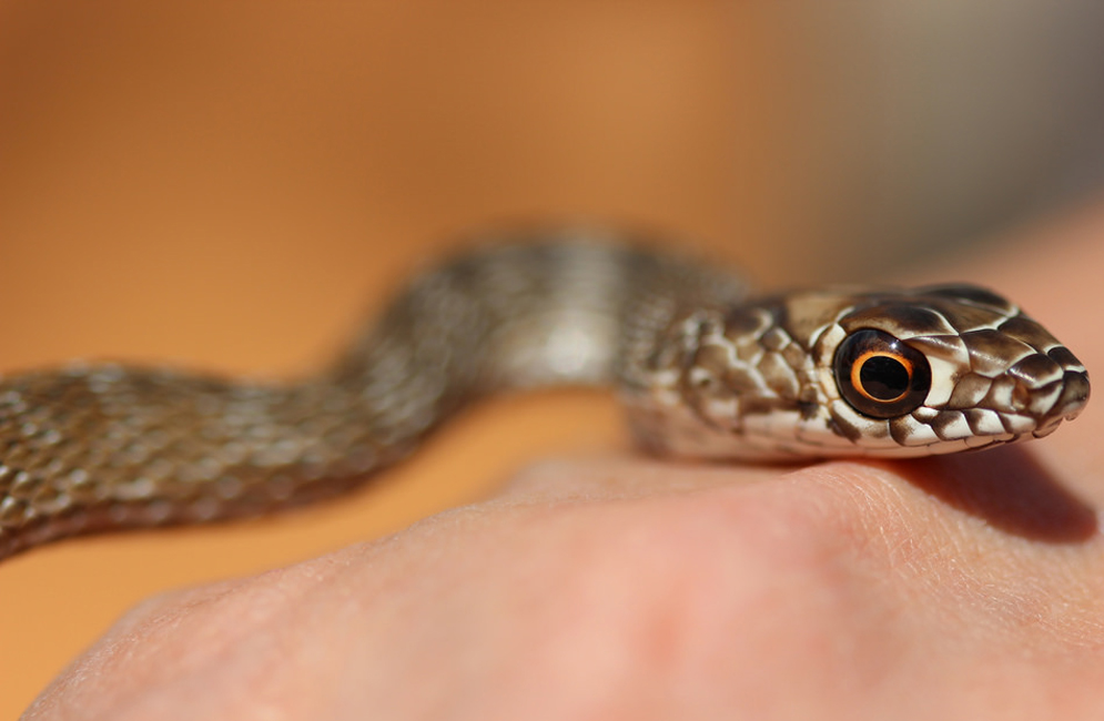 Coachwhip snake. Photo by Jonathan Suh (CAS'14)