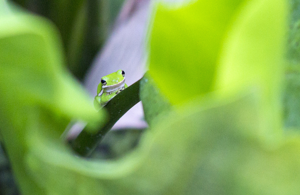 American green tree frog. Photo by Jonathan Suh (CAS'14)