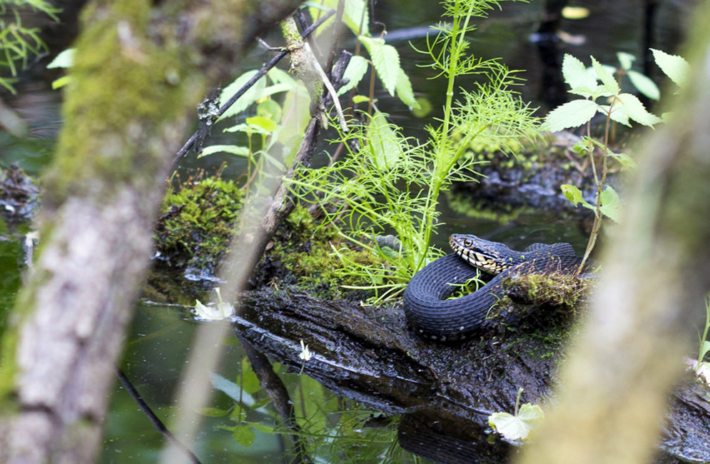 Banded water snake. Photo by Jonathan Suh (CAS'14)