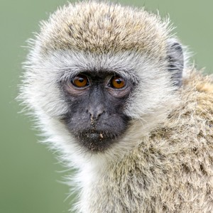photo of a ververt monkey