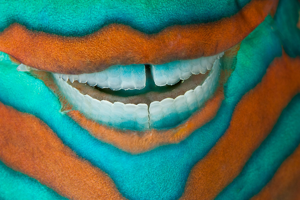 A sleeping parrotfish seems to smile in the Great Barrier Reef in Australia.