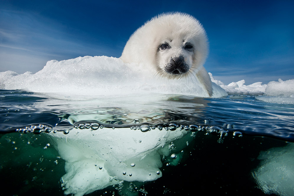 In 2014, Doubilet and Hayes published a story in National Geographic about the creatures living in the Gulf of St. Lawrence. After spending 10 days photographing an ice field of about 10,000 harp seals and their pups, a storm broke up the ice, which had been weakened by warming gulf temperatures. The pups weren't ready to swim on their own; Doubilet and Hayes returned to the magazine's offices with photos of pups that had died. They wove the story about the seals into a National Geographic Live talk that's been on a world tour for two years.
