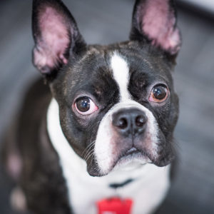 Auggie, a three-year-old Boston terrier, is a therapy dog at the University's Sexual Assault Response & Prevention Center.