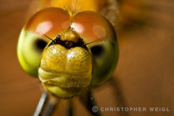 Face to face with a dragonfly in Massachusetts