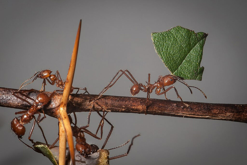 A photo of leafcutter ants working together