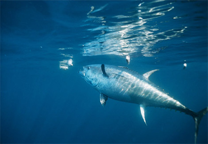 Bluefin Tuna (photo from National Geographic)