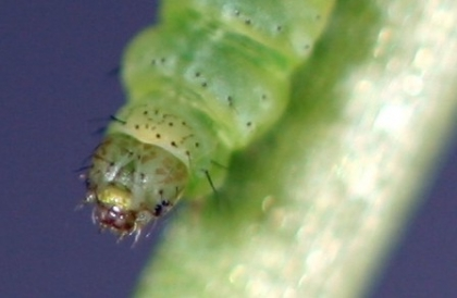 Caterpillars fed a high-carb diet evolved to stay thin.  (Photo courtesy Spencer Behmer)