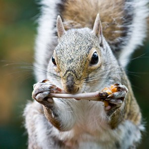 Squirrel gnawing on a chicken bone