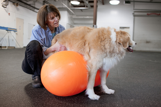 physical therapy of the four legged variety   bostonia web