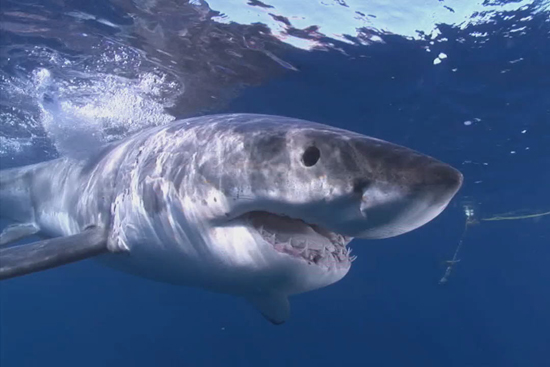 Tracking Great White Sharks - Bostonia Web Exclusives