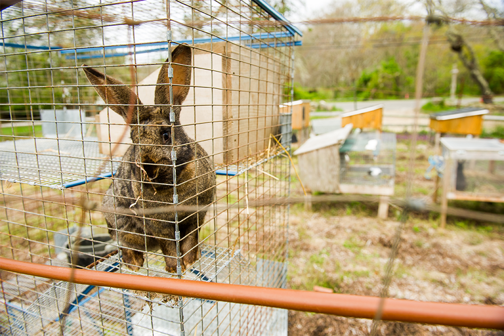 a rabbit at Beetlebung Farm