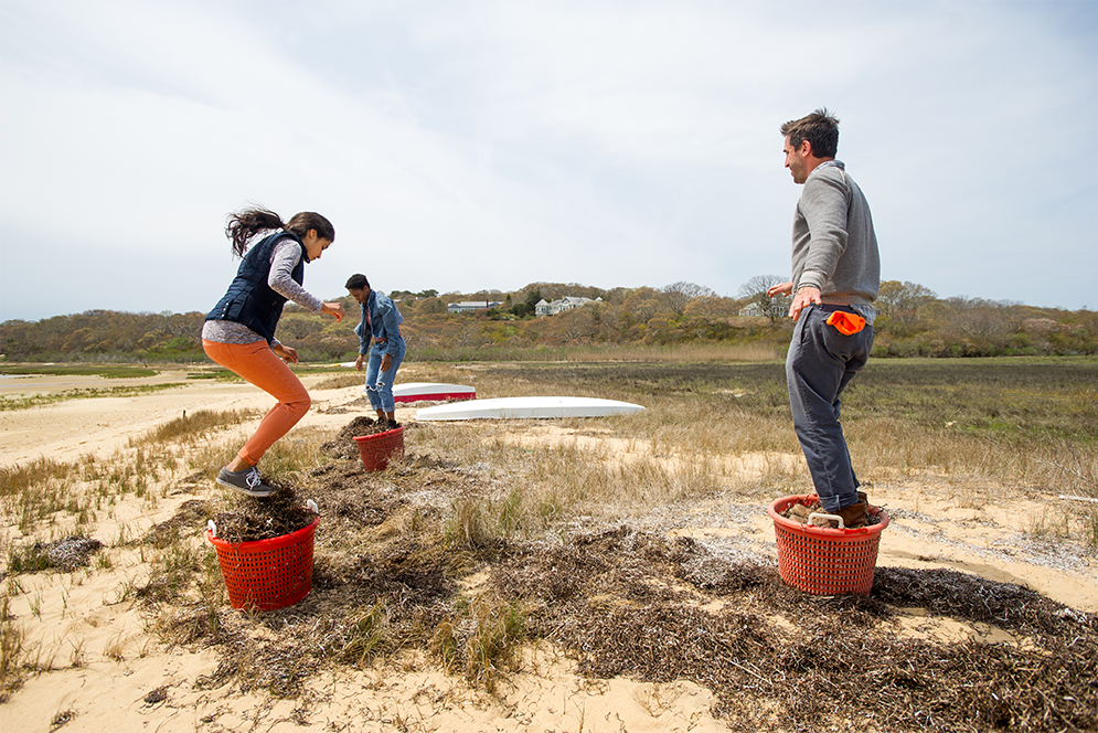 Chris Fischer and Boston University Gastronomy students Sonia Dovedy and Valencia Baker harvest seaweed from a local beach for use in the pig pen at Beetlebung Farm