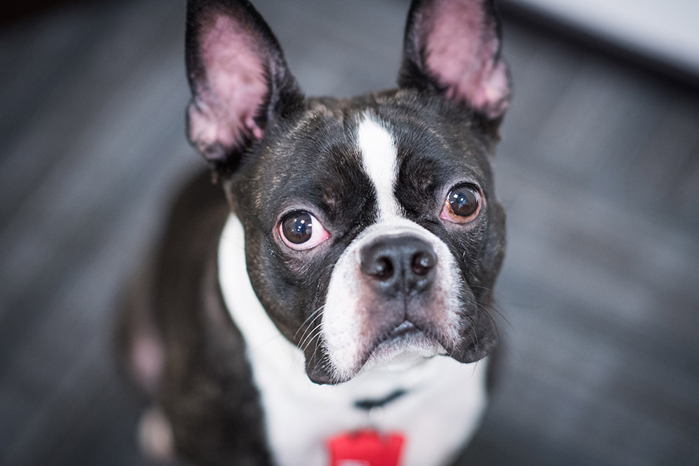 Auggie, a three-year-old Boston terrier, serves as a therapy dog at the BU Sexual Assault Response and Prevention Center (SARP)