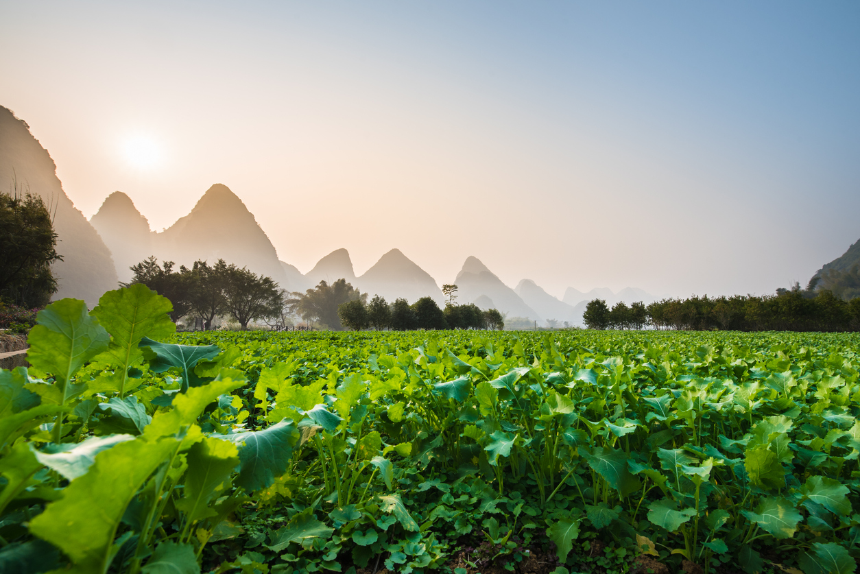 Planting of local vegetables; Landscape of Guilin; Li River.Yangshuo County; Guilin City; Province; China.