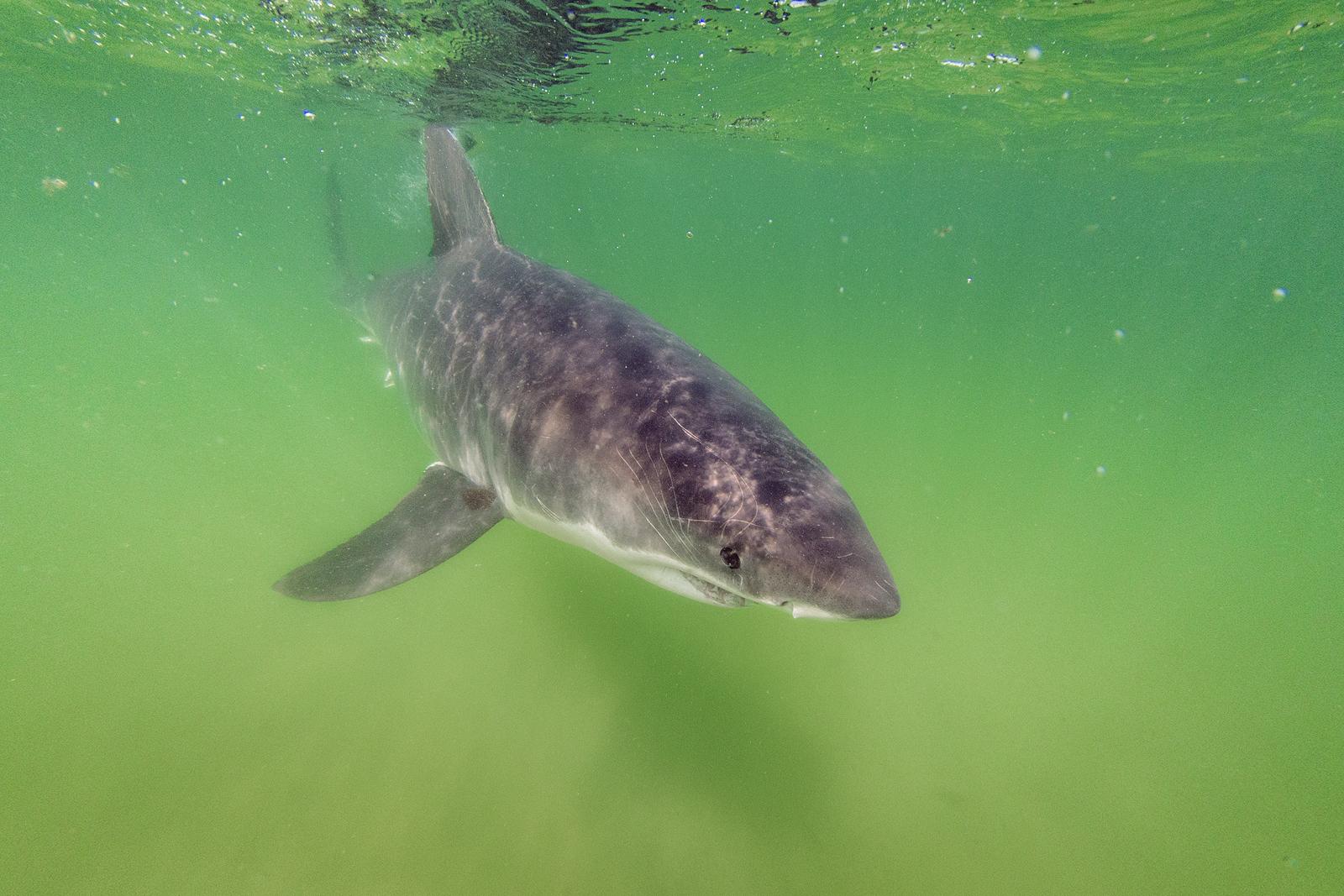 Sharks Return to the Spotlight  So Does Greg Skomal    BU