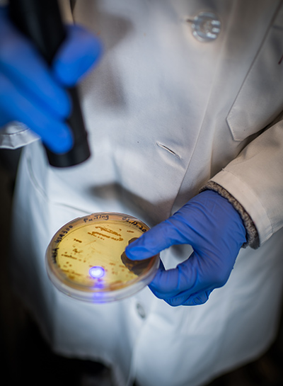 Detail photo of a researcher demonstrating a drug-free blue light therapy MRSA treatment. The researcher exposes a petri dish of MRSA and hydrogen peroxide to a blue light laser light.