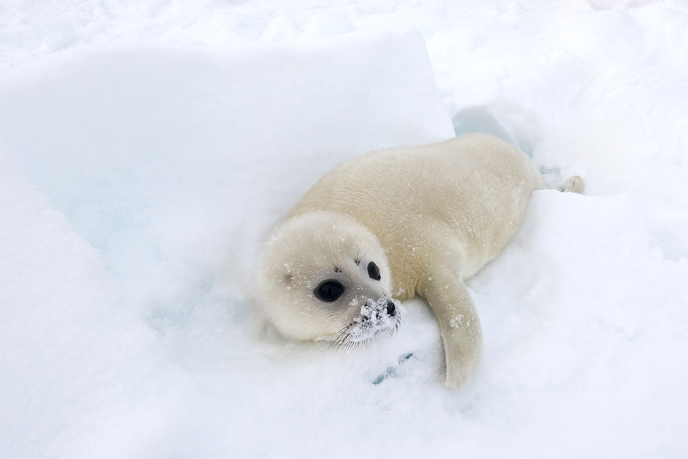 A white harp seal pup in the arctic.