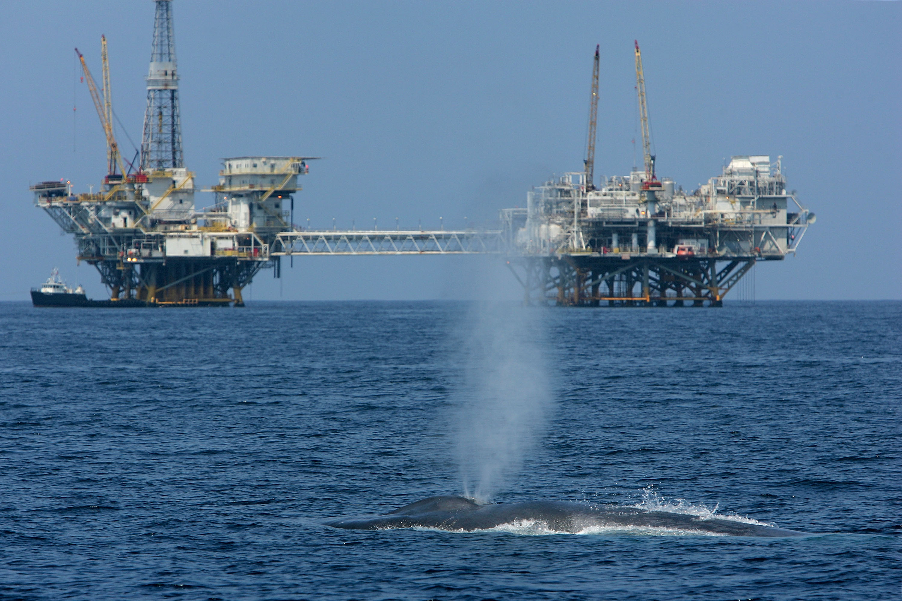 And endangered blue whale spouts near offshore oil rigs, a known source of human-caused noise pollution in the ocean.