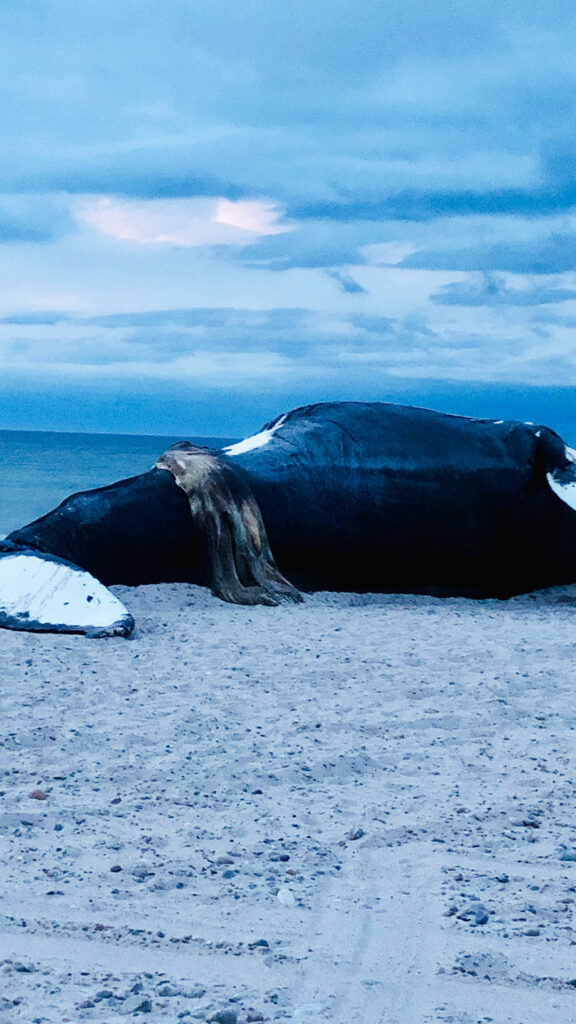 Vector the humpback whale stranded on a beach in Cape Cod.