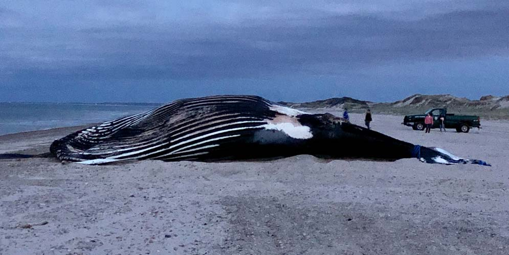 Vector the humpback whale stranded on Cape Cod