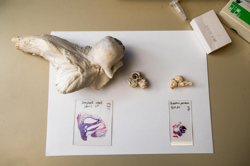 At left, a humpback whale ear and it's histology, next to harbor porpoise ears and histology.
