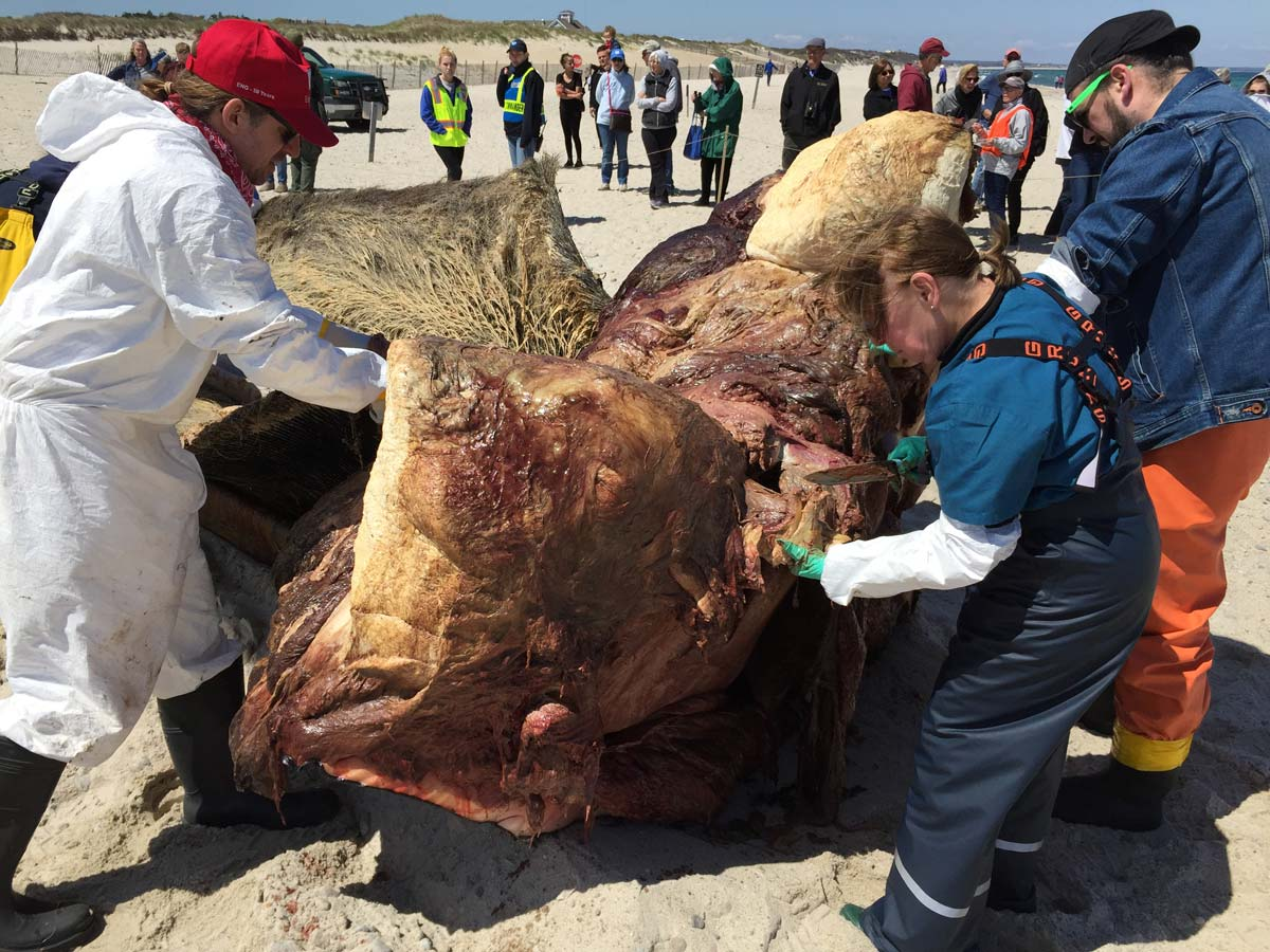 Boston University research team dissects the body of Vector the humpback whale, showing the top half of the head.