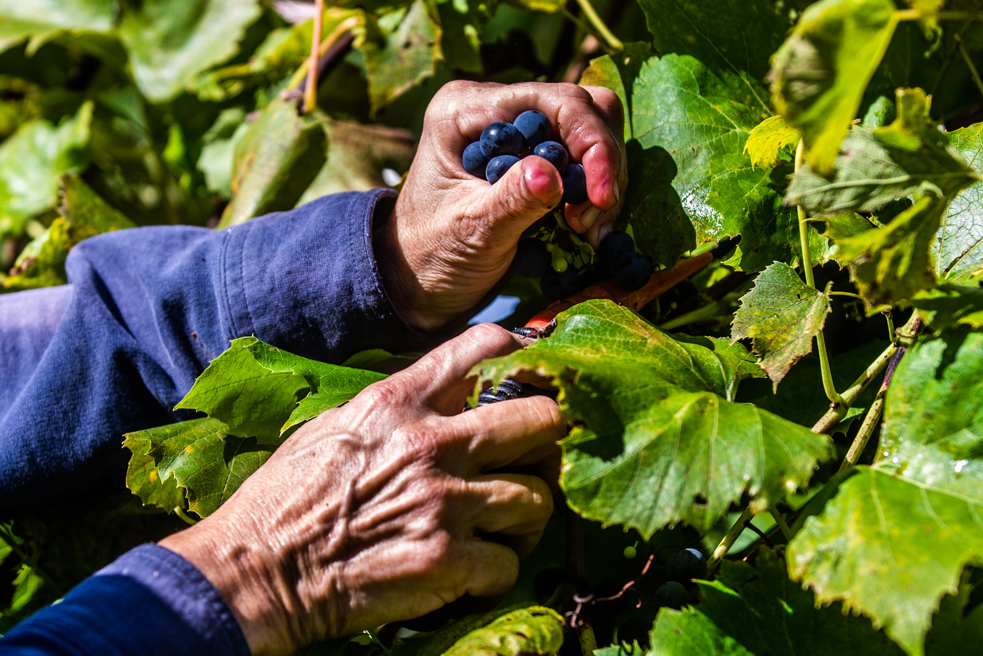 A hand pulls grapes from the vine on a vineyard