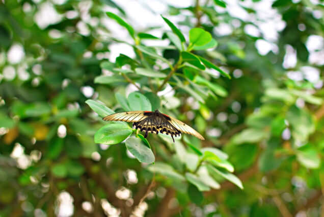 An Easter Tiger Swallowtail Butterfly flies through greenery