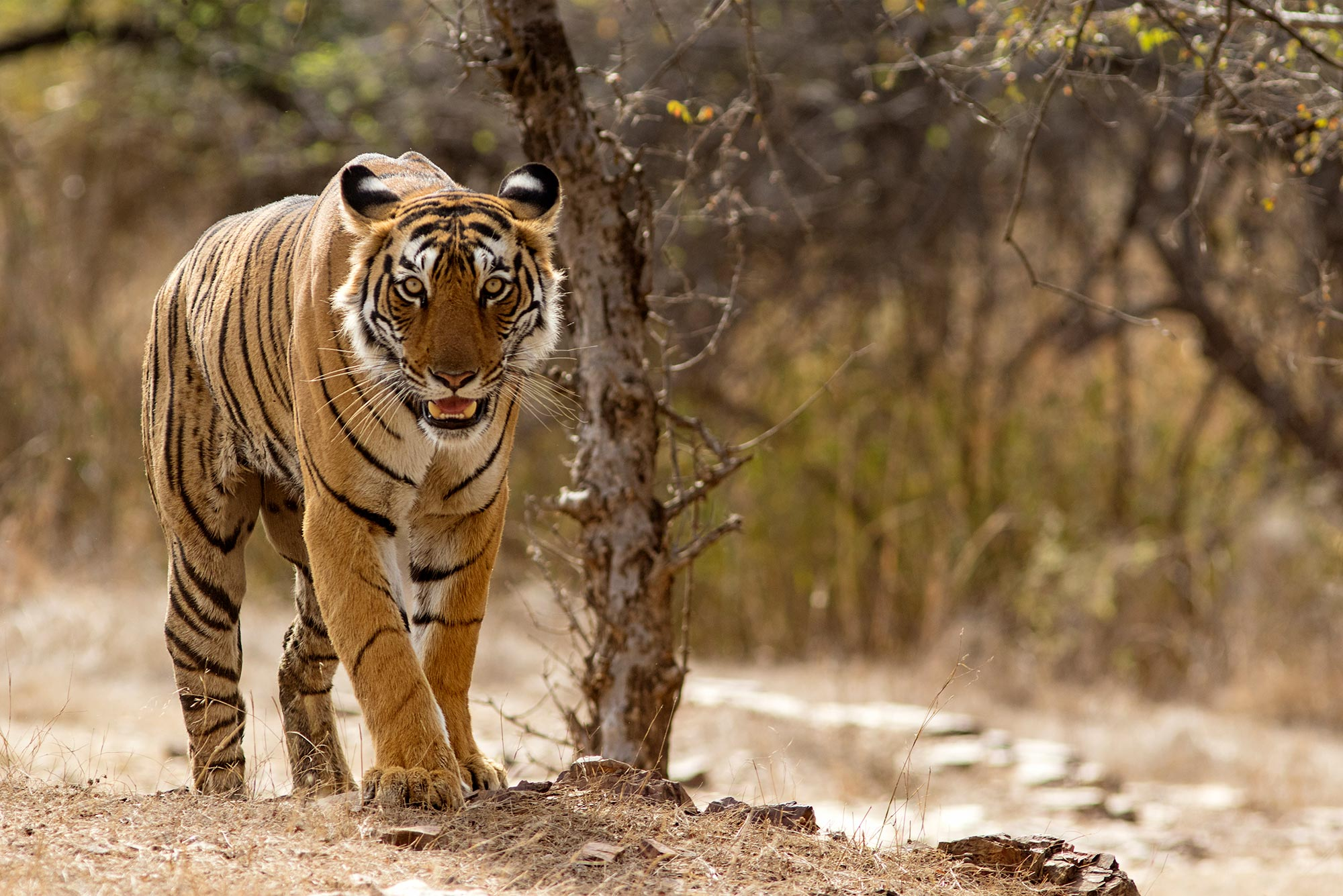 Image of a tiger in the wild. A dry landscape and brush is seen behind it.