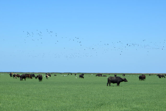A photo of water buffalo grazing