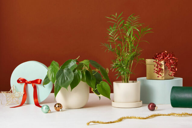 Photo of potted house plants and cream plant pots, surrounded by gifts with red bows and christmas ornaments.