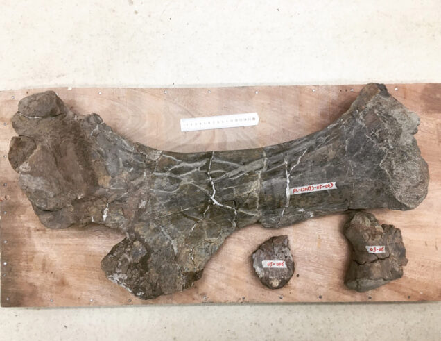 Photo of a right pubis bone of a dinosaur fossil.