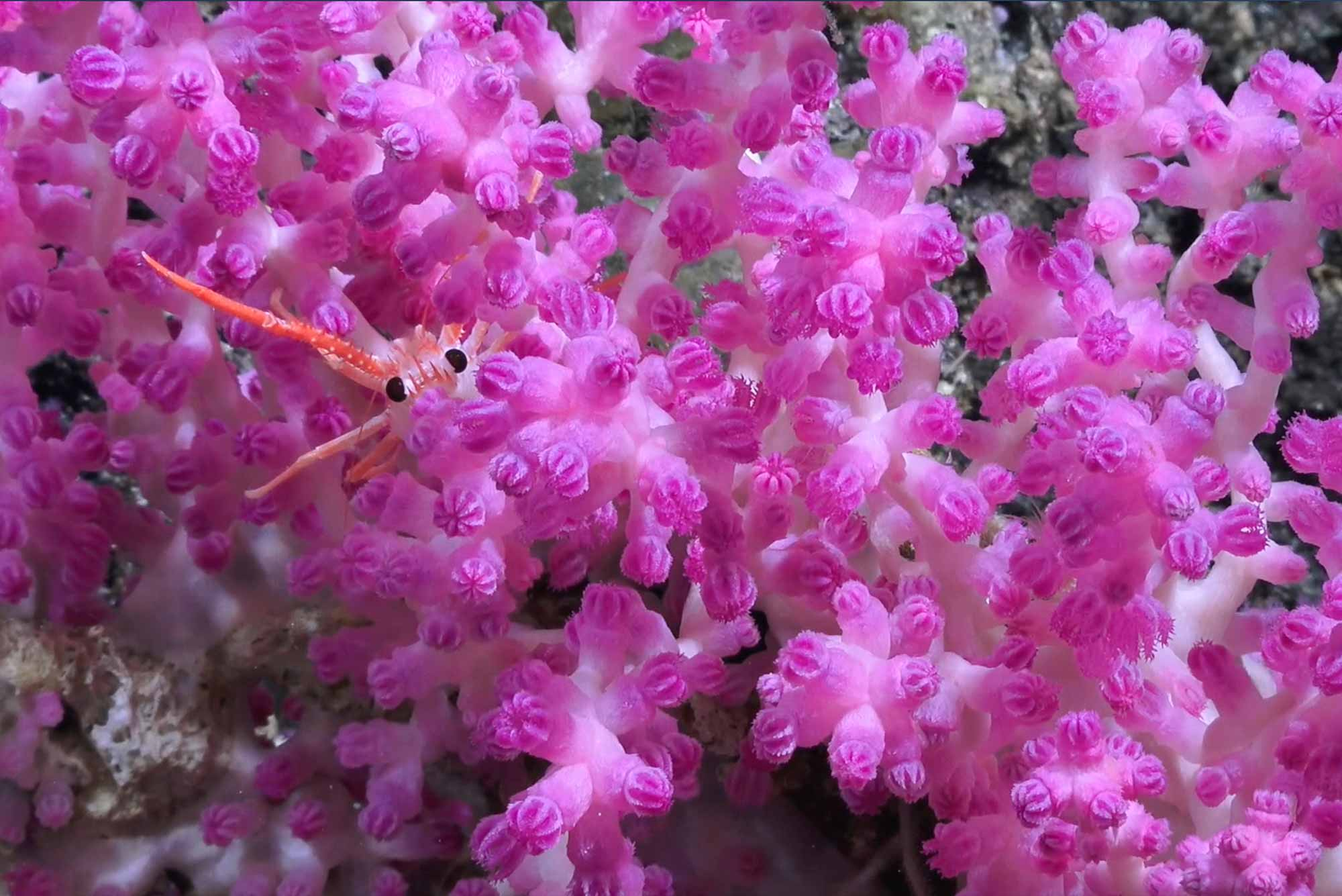 Detail photo of a fluorescent pink deep sea soft coral with a squat lobster peaking out from inside the coral