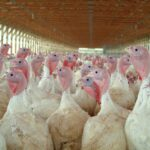 Photo of a large group of turkeys in a confined structure. The turkeys have white feathers and pinkish blue heads.
