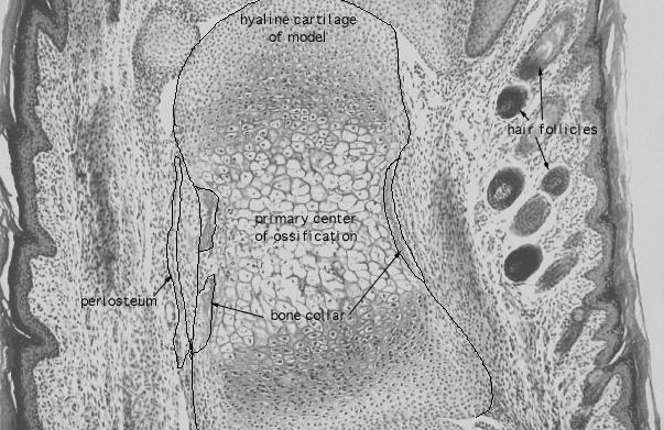 hyaline cartilage histology