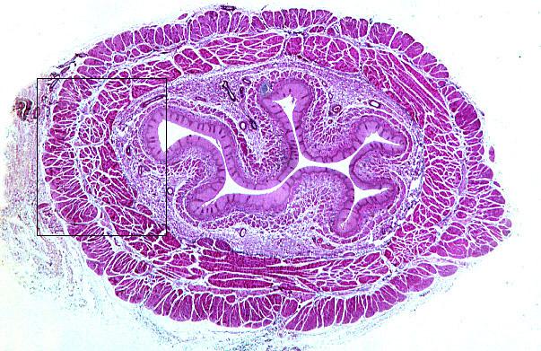 Препарат пищевода гистология картинка