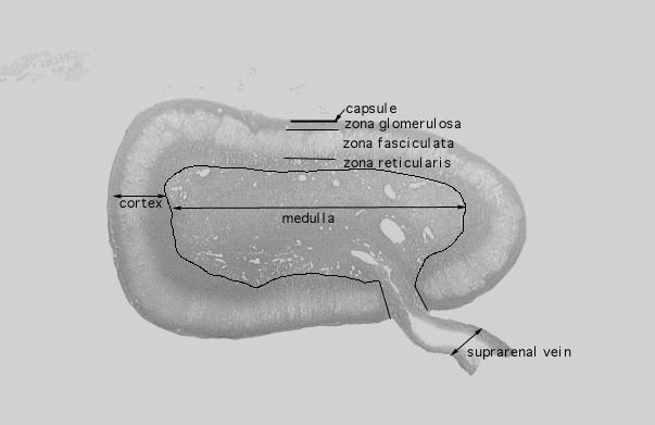 Hls Endocrine System Adrenal Gland Low Mag Labeled