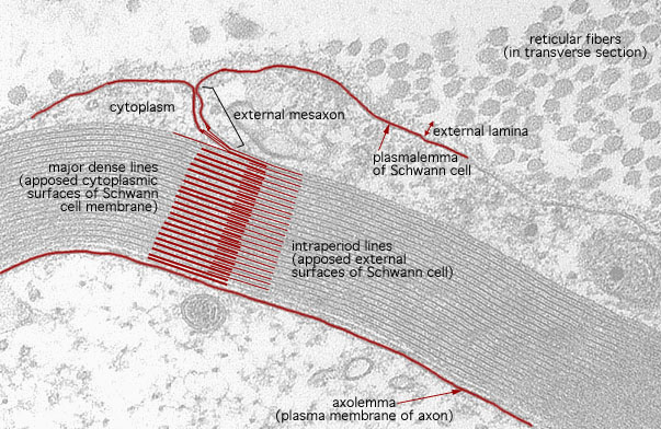 HLS [ Ultrastructure of the Cell, peripheral myelin, lamellae] HIGH ...