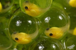 red eyed tree frog tadpole embryos