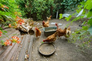Urban health regulations on chicken coops are needed, researchers say,