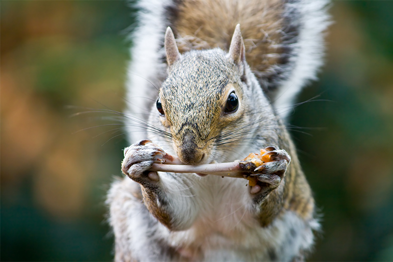 Researchers Study Squirrel-Gnawing Marks on Bone to Further Forensic ...