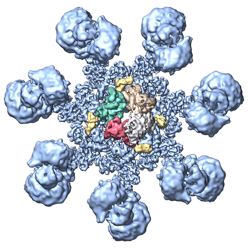 model of active human apoptosome