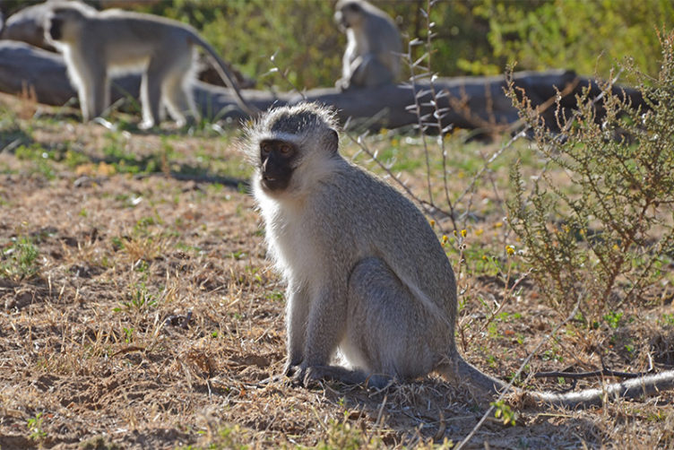 Vervet monkeys in the wild do not get fat, but monkeys in captivity do. Schmitt wants to understand what combination of genes, environment, and ancestry may trigger obesity. Photos by Ryan Cadiz