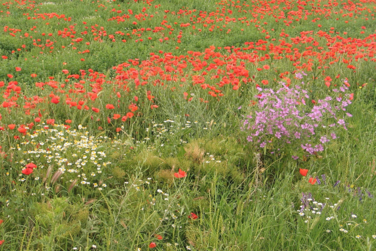 Romanian wildflowers