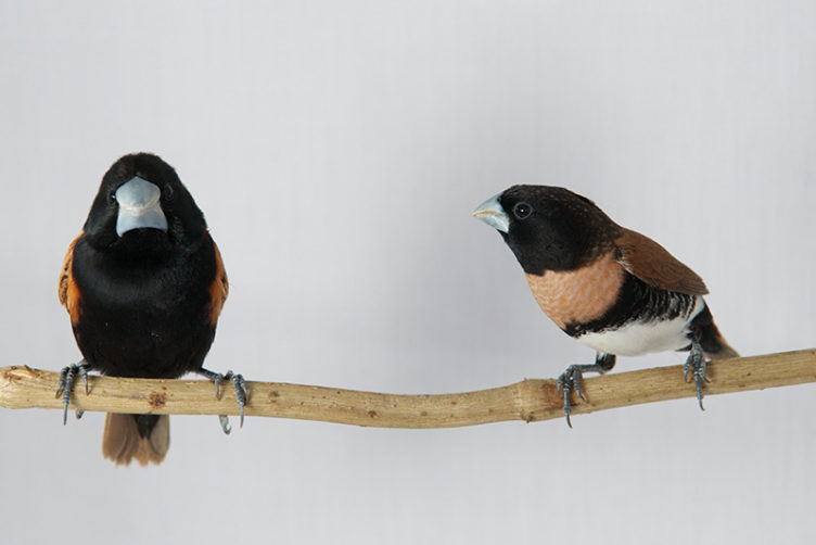 Lonchura castaneothorax and Lonchura grandis species of Finches from New Guinea standing on a branch
