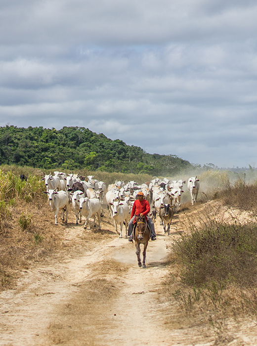 A cattle rancher in Brazil leads a herd of cattle