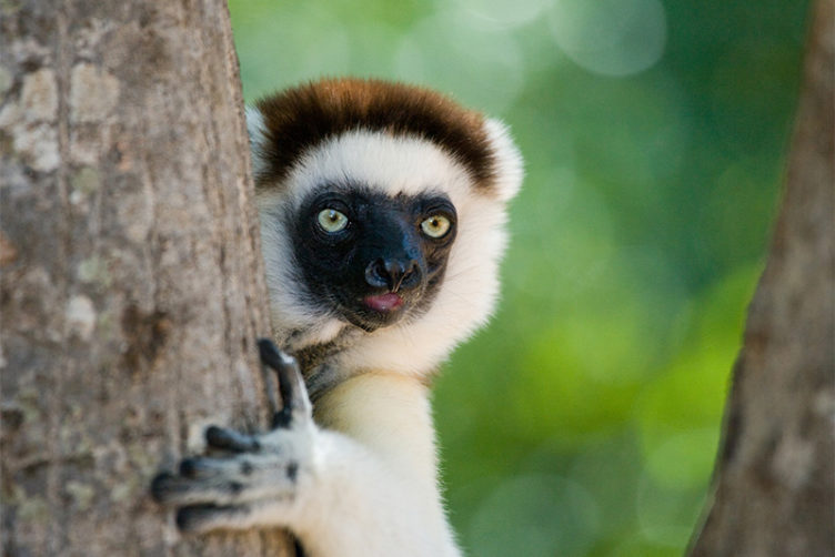A Sifaka lemur in a tree